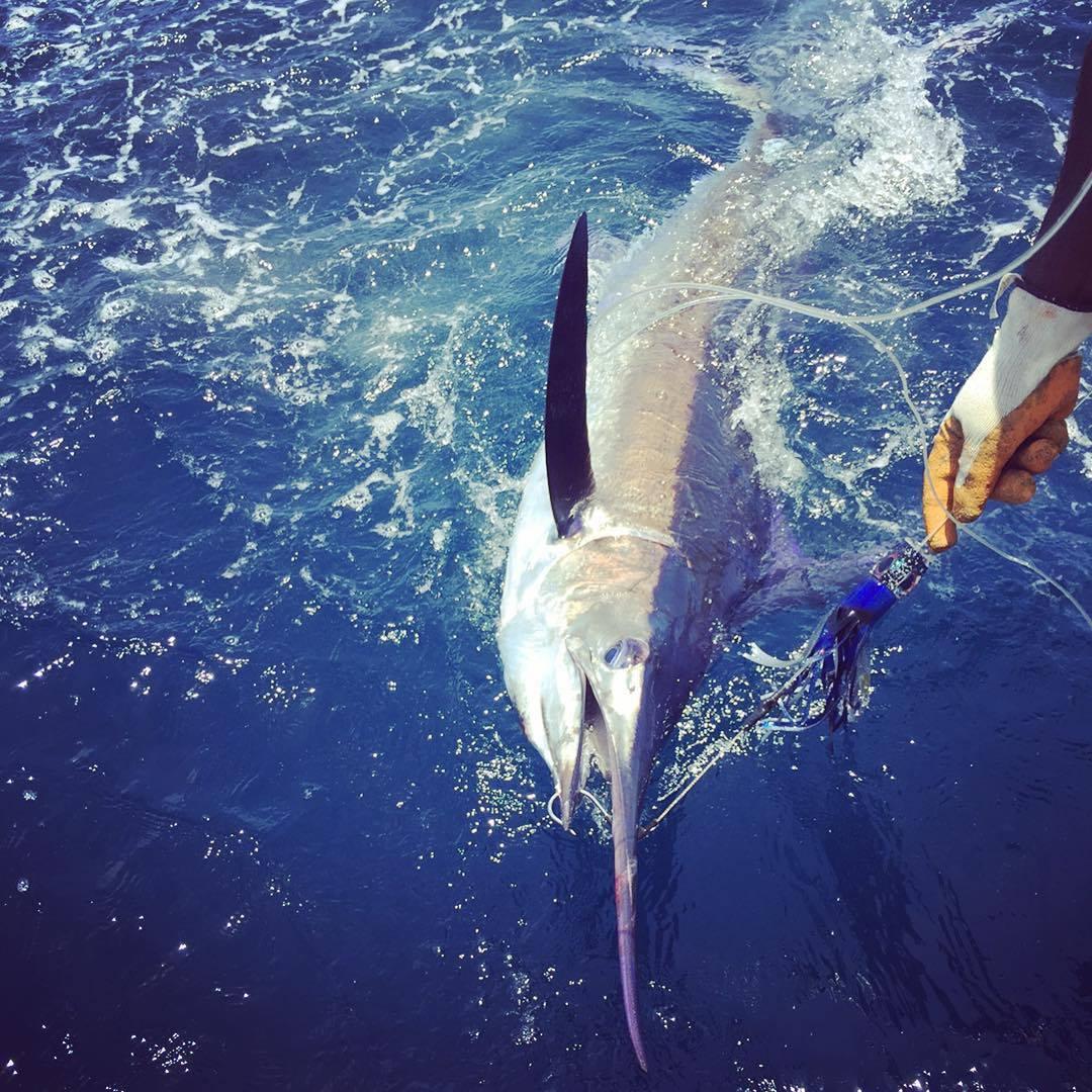 Blue marlin.jpg