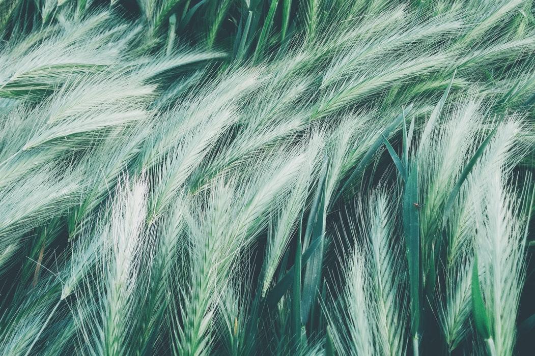 ornamental grass tecture.jpg