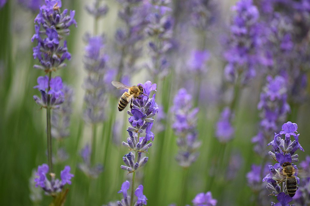 bee-on-lavender-1024x683.jpg