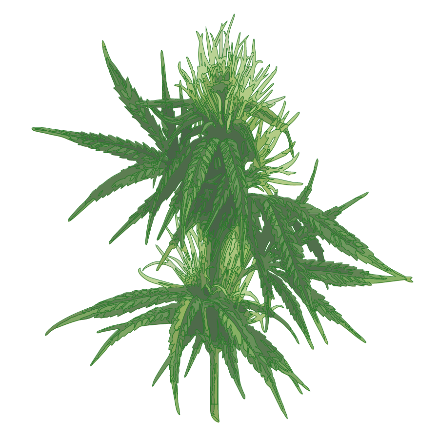 Female Cannabis Plant-01.png