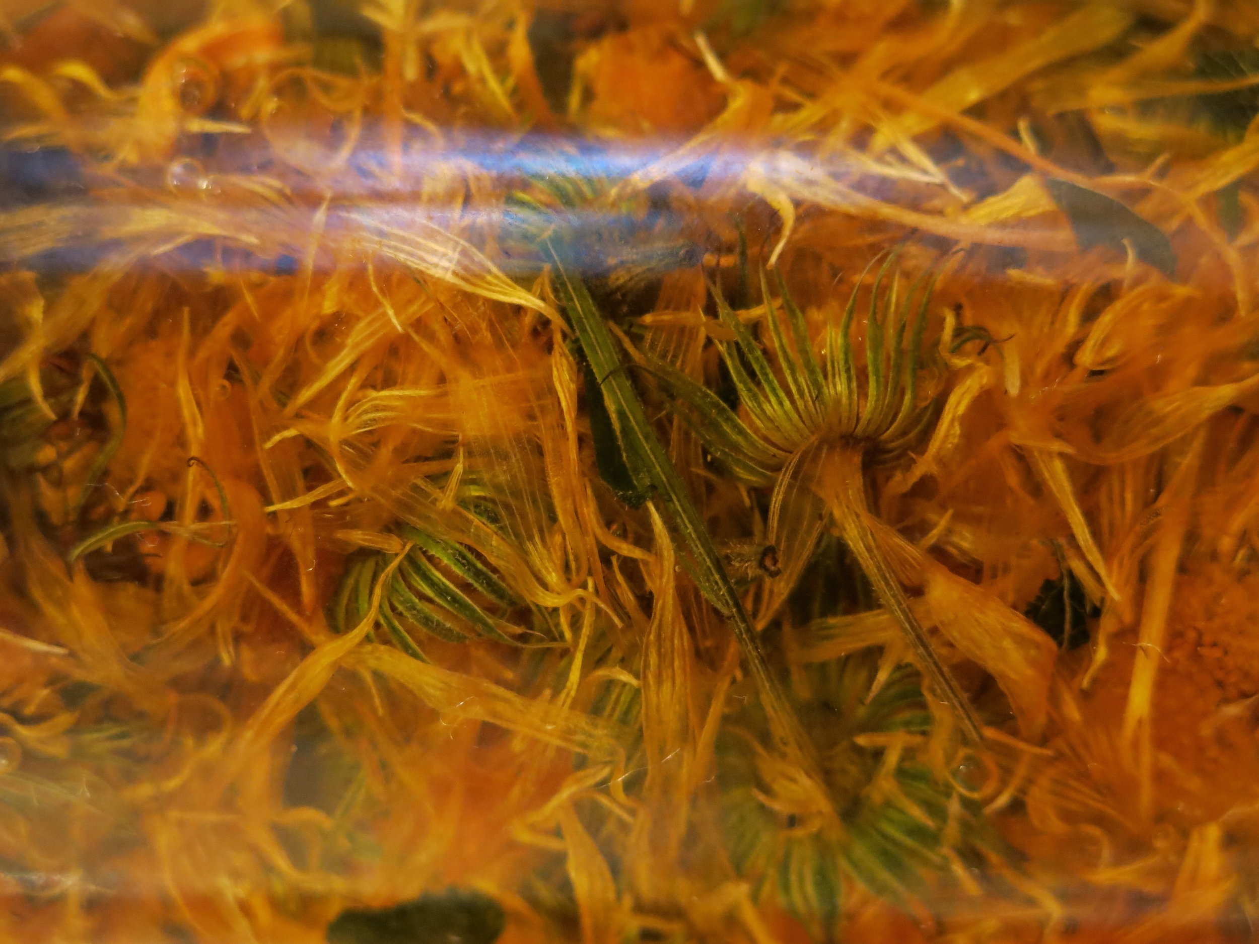 calendula in oil.JPG