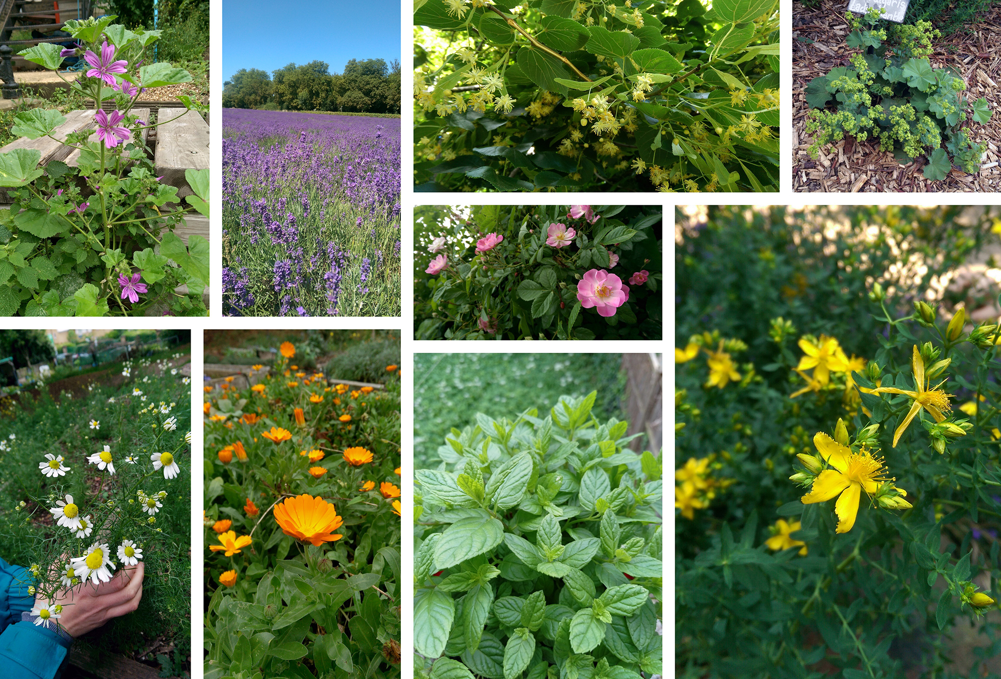 Top row l-r, Mallow, Lavender, Lime flower, Lady's Mantle. Centre, Rose. Bottom row l-r, Chamomile, Pot Marigold,  Mint, St. John's Wort