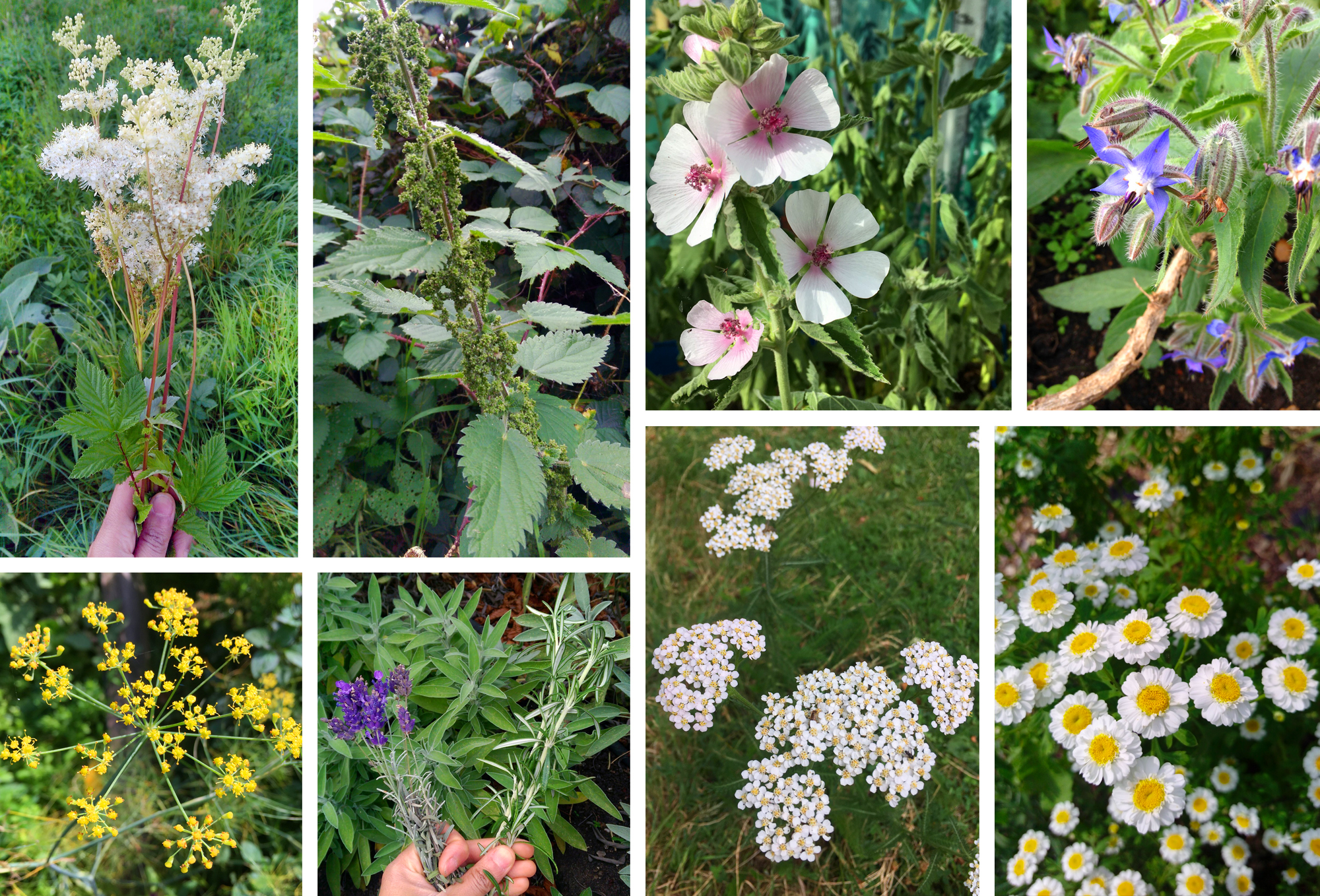 Top row L-R Meadowsweet, Nettle seeds, Marshmallow, Borage. Bottom row L-R Fennel, Lavender & Sage & Rosemary, Yarrow, Feverfew