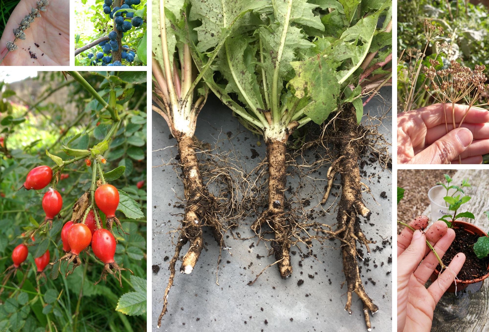 Clockwise from top right - Lavender seeds, Sloe berries, Dandelions, Parsley seed, Mint cuttings, Rose hips