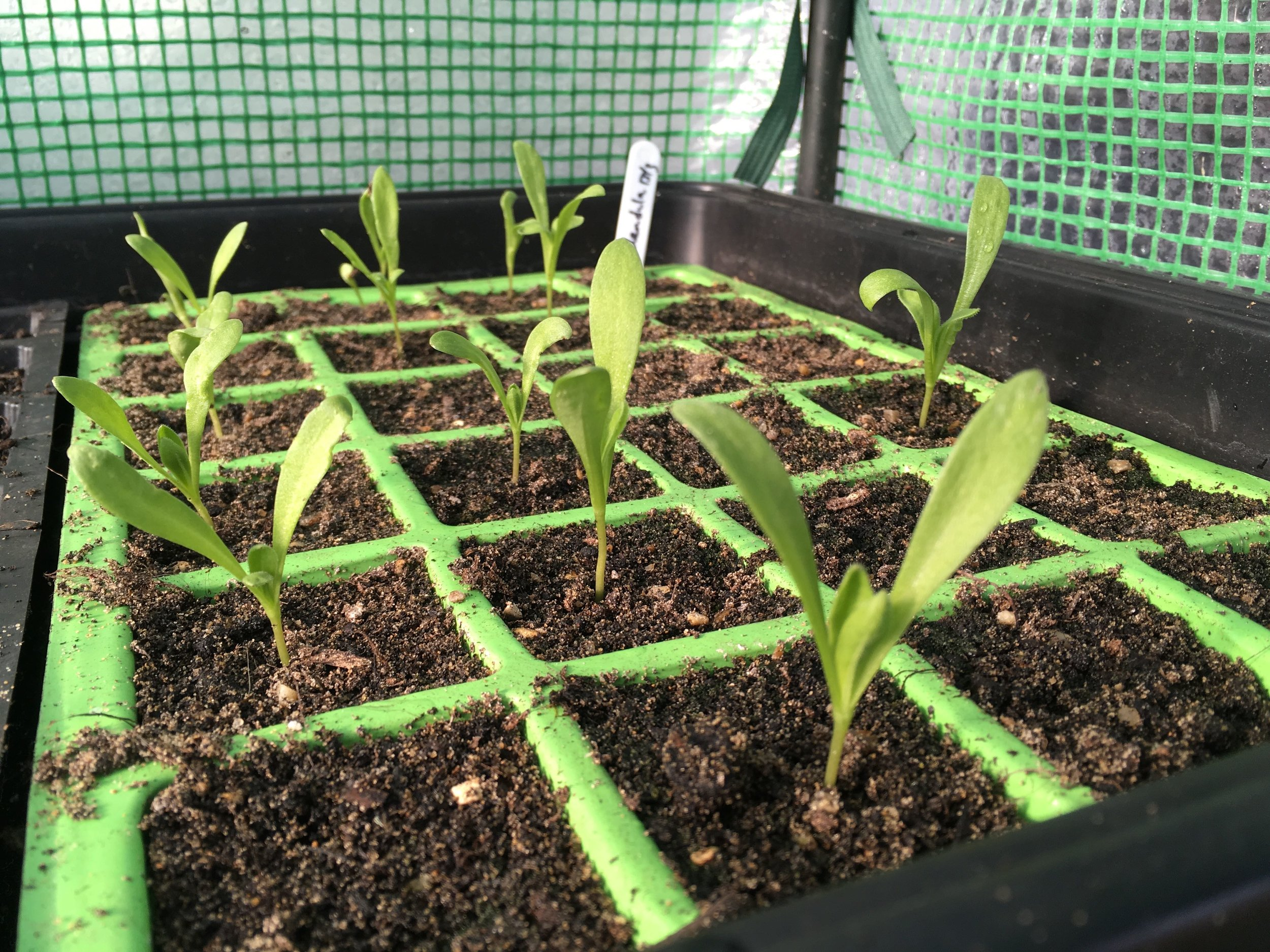 Hackney Herbal | Calendula seedlings.jpg