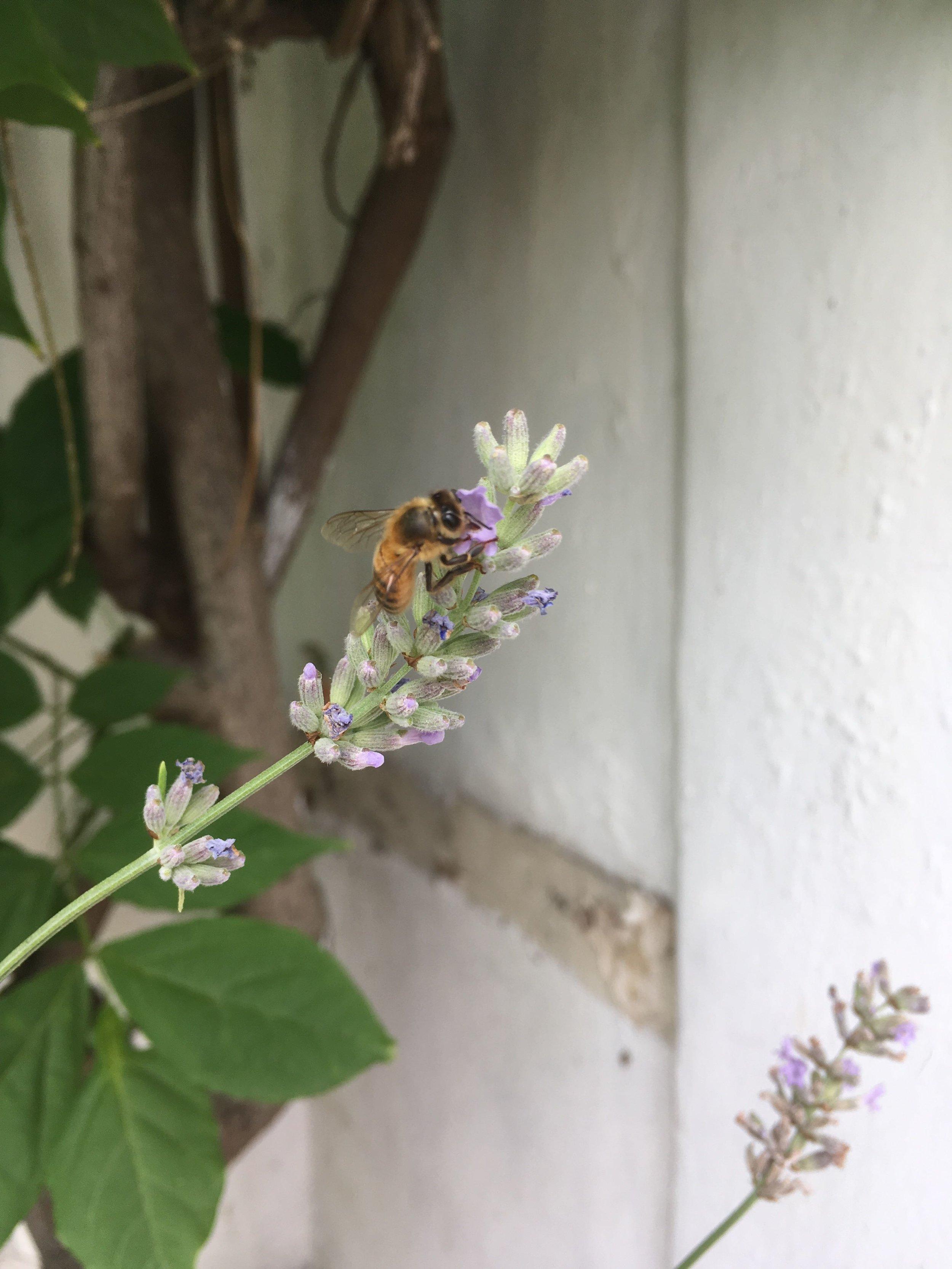 Bee on Lavendula angustifolia - Lavender.jpg