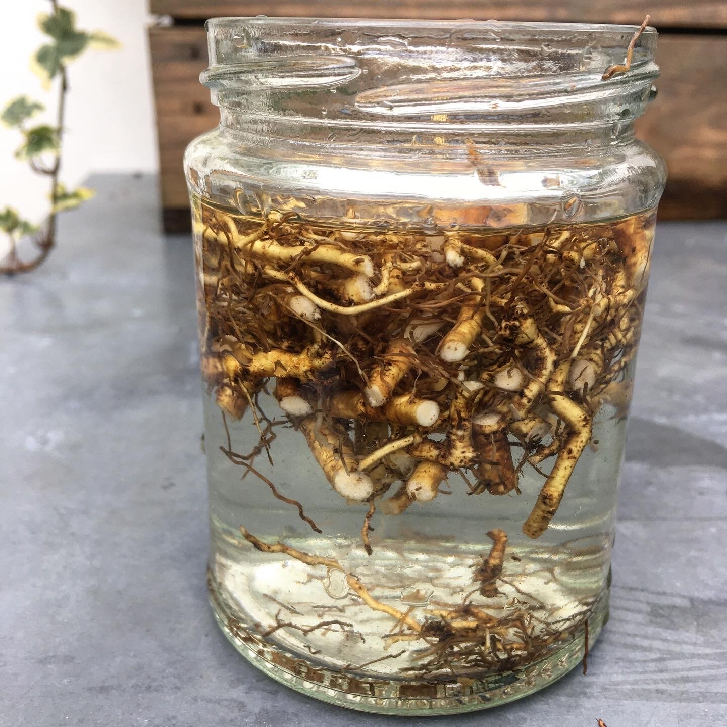 Chop up roots and leave in a jar of water for at least 8 hours to extract the mucilage creating a macerate.
