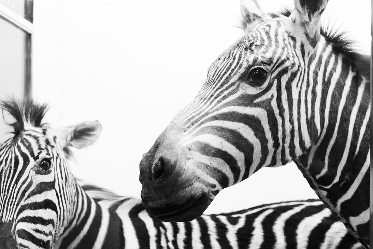 Zebra at La Specola