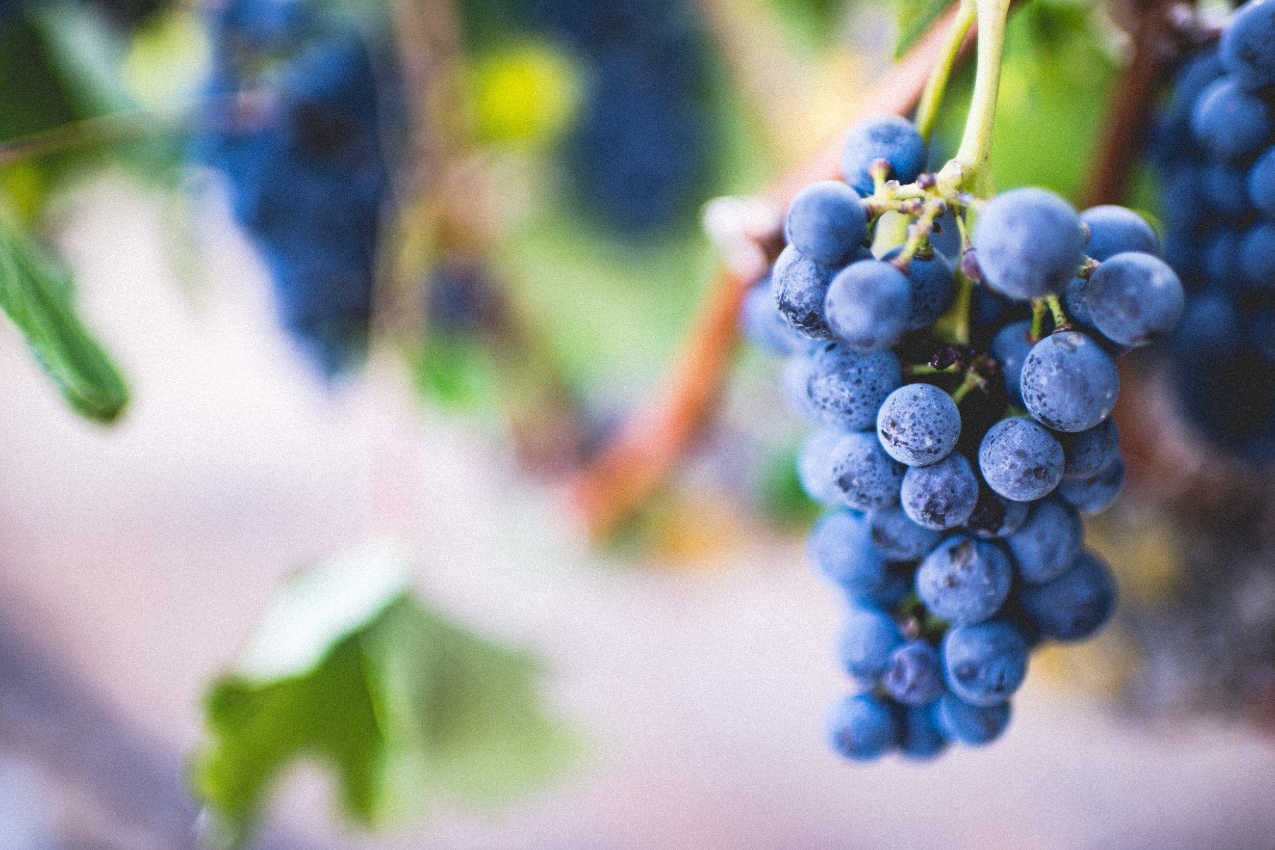 grapes - WFM vine