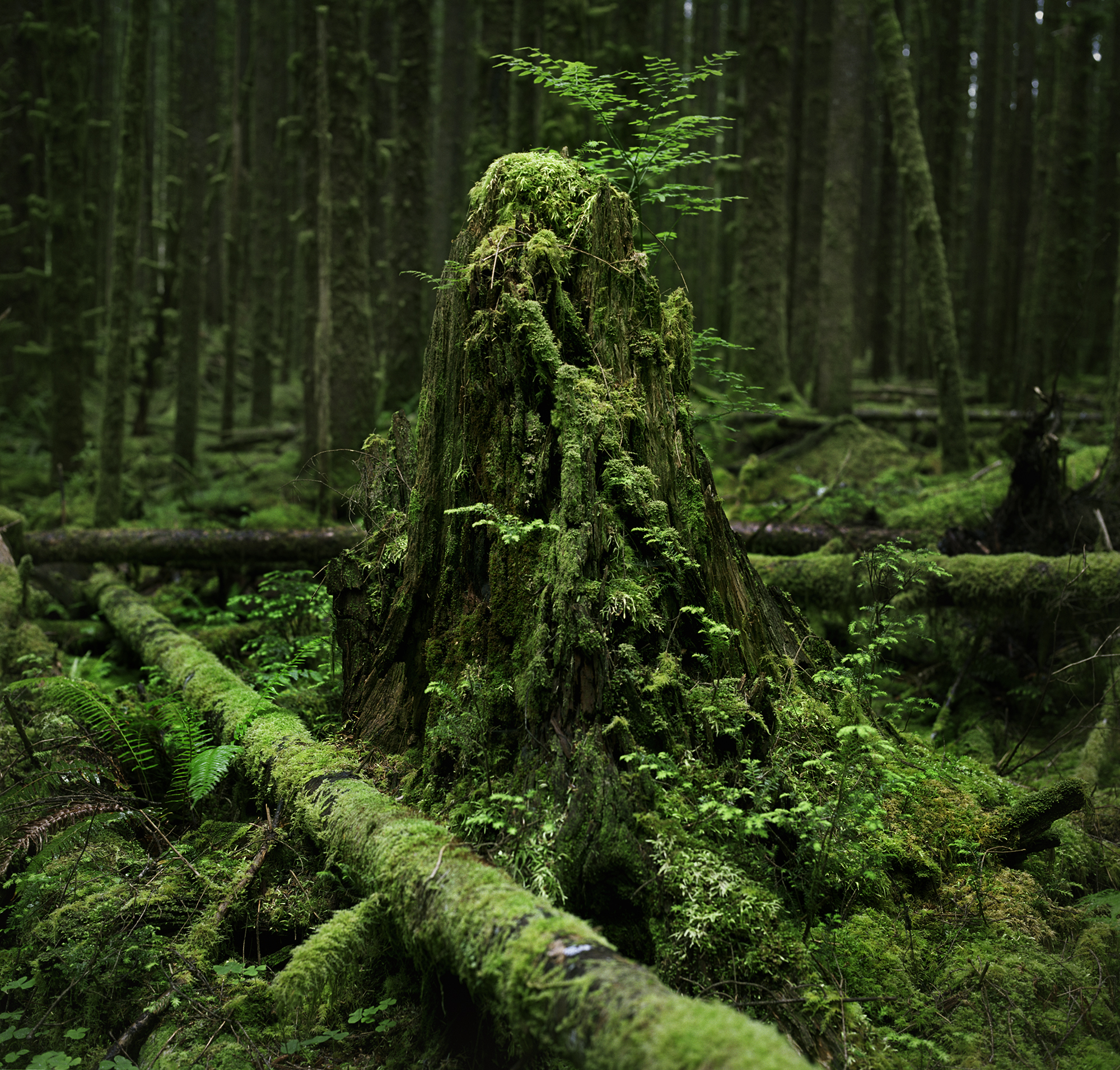 hoh stump 20 v2.jpg