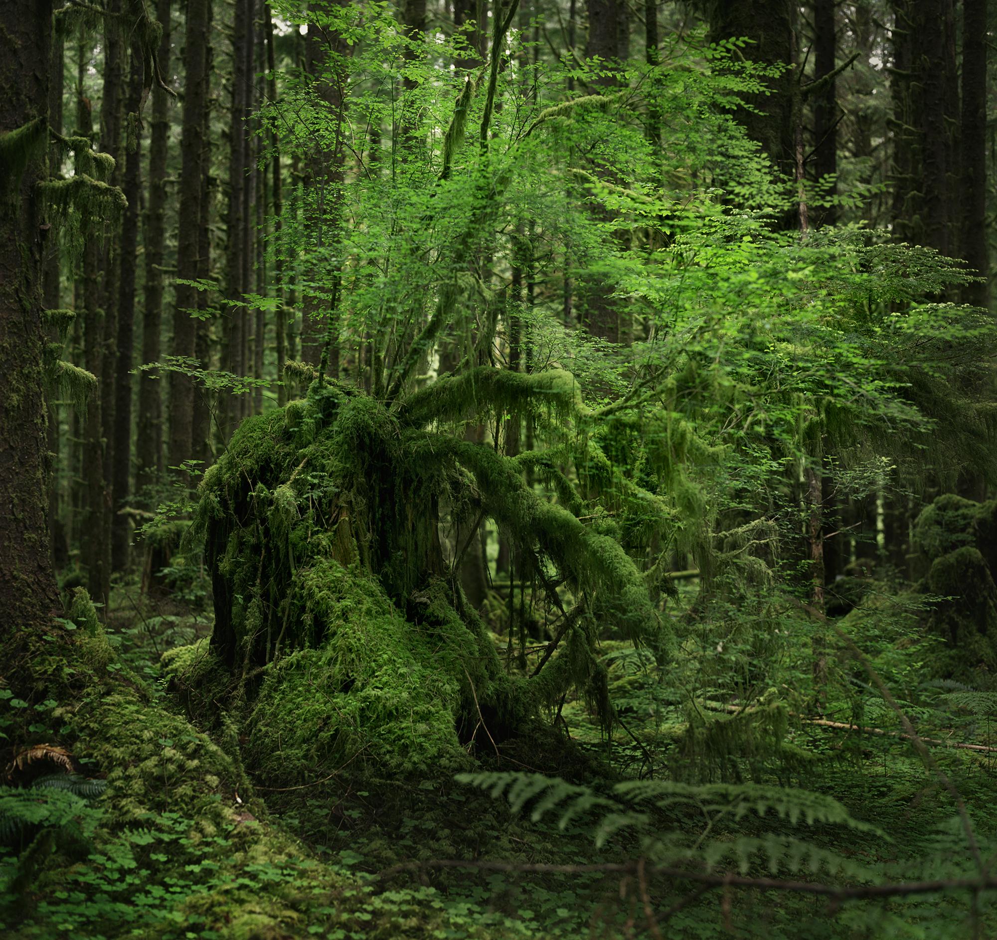 hoh stump branchy v2.jpg