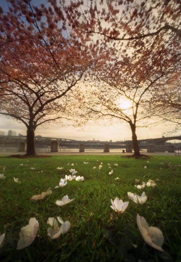 Amidst the cherry blossoms. Innova 6x9, Kodak Ektar 100.