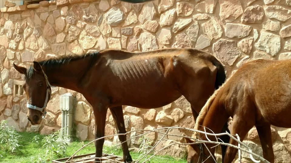 starvinghorses.jpg