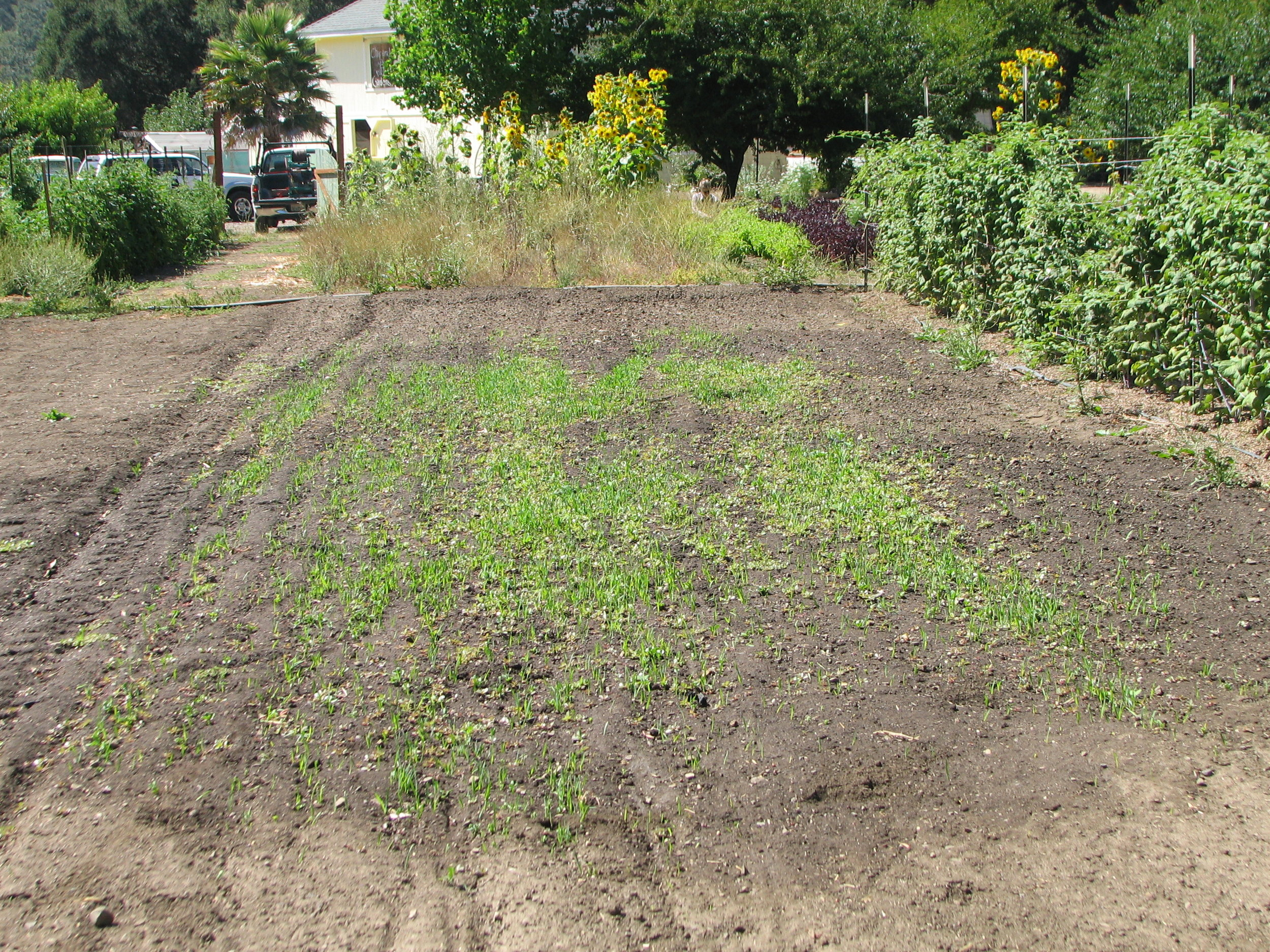 CG-soil remediation3-first germination.JPG
