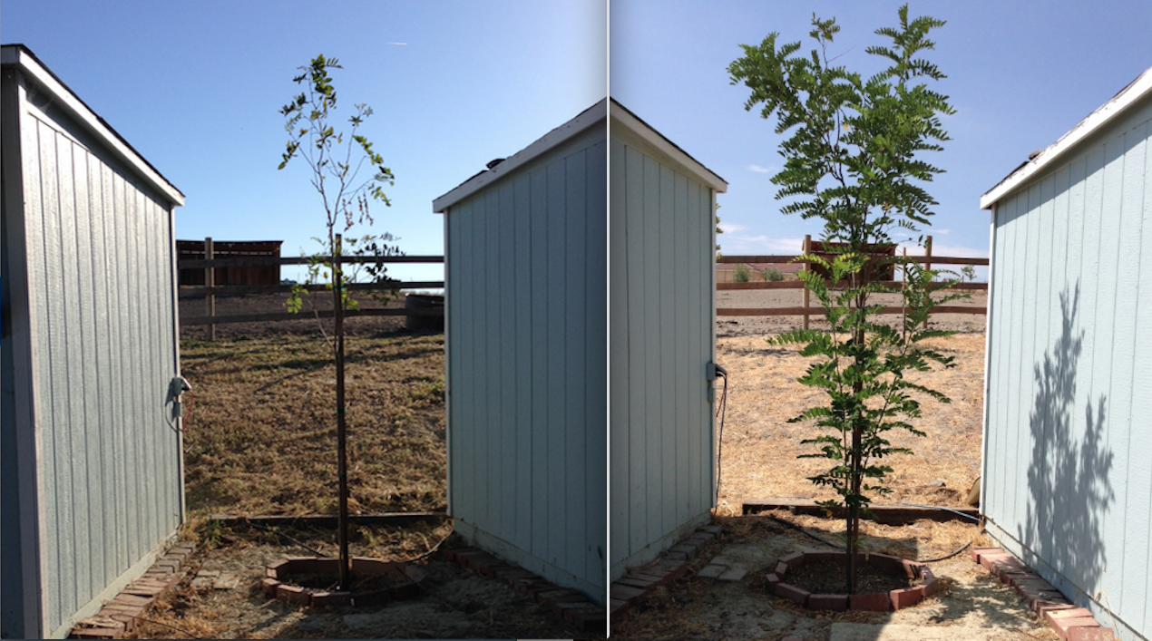 This was the poorly tree I got for cheap at LOWES. On the left was when it was planted using Orchard Blend Gold. On the right is today, almost 4 months later.