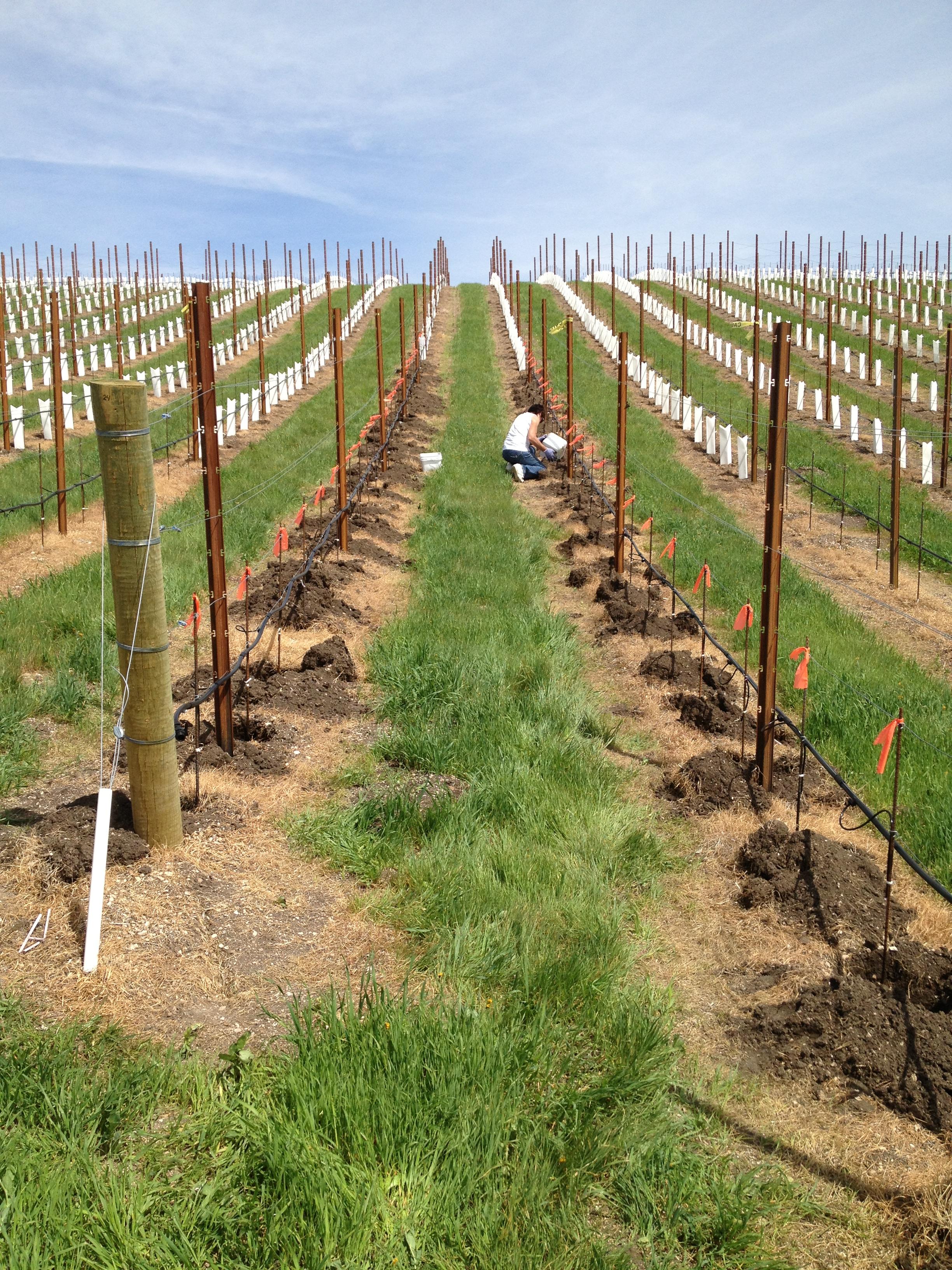 Vineyard-planting.JPG