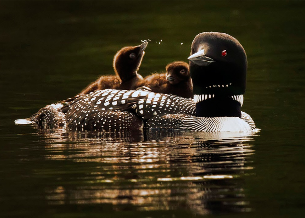 Duck with babies riding on its back.jpg