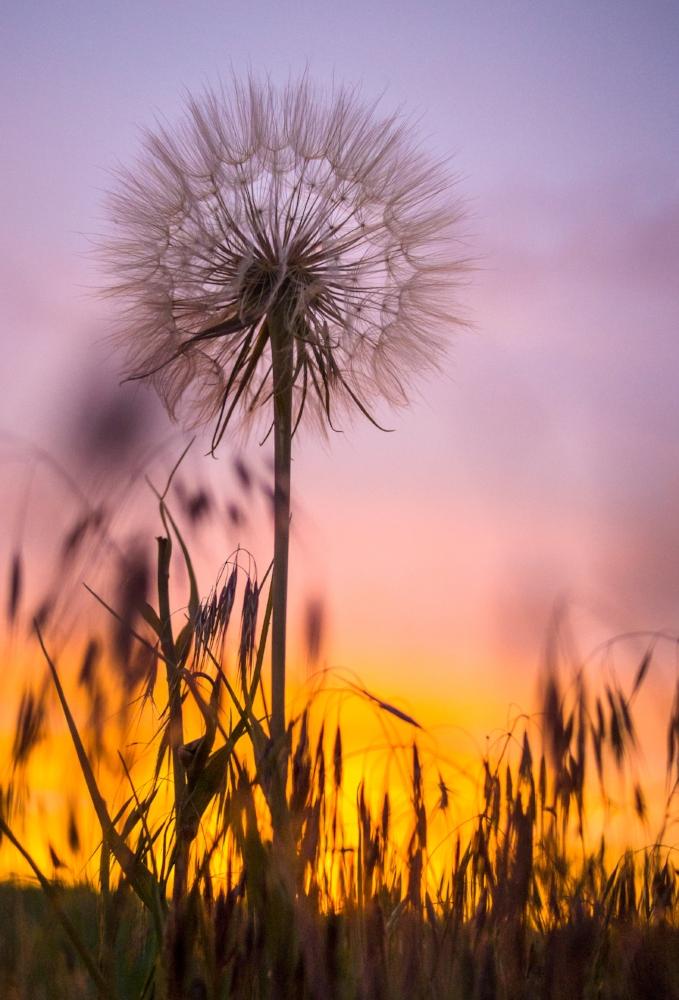 Dandelion by Veronika Barnes