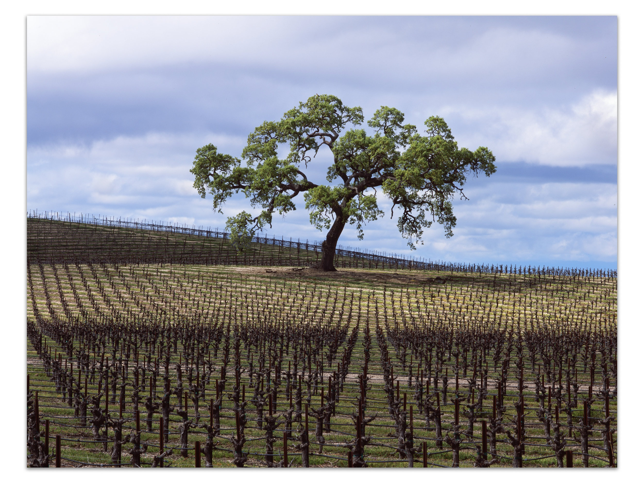 "Vines and Branches   | California |  Edition of 11    A brief window of light illuminates a massive oak in a vineyard in the hills of Paso Robles in early spring.    30x40, 40x50, 48x60, 72""T, 84""T, 96""T"