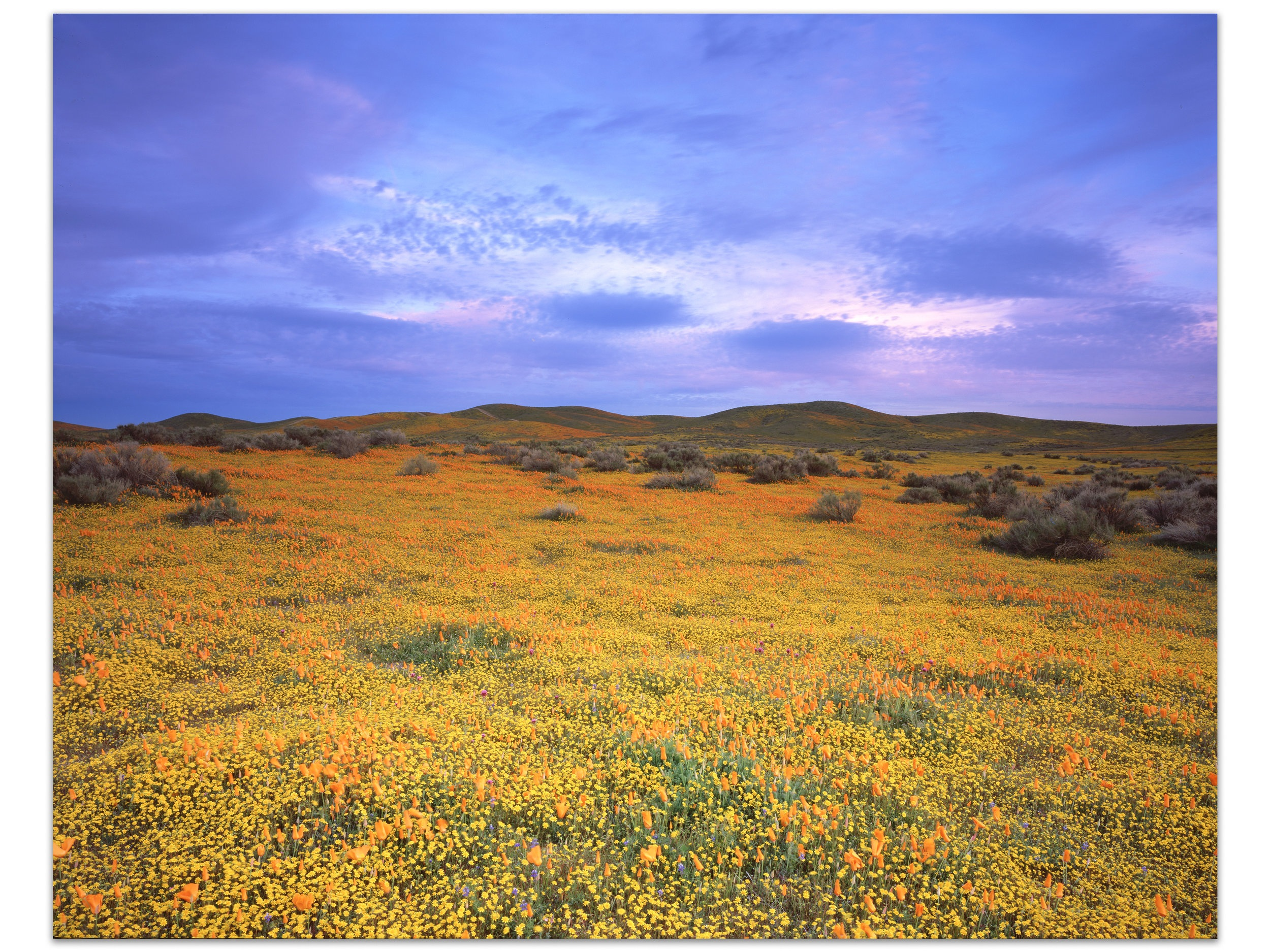 "Magic Carpet   | California |   Edition of 11     The rains of late fall and winter lead to a rare super bloom throughout the state of California. The cool blues of dusk are an incredible striking contrast to the fleeting medley of color that gives this image its name.    30x40, 40x50, 48x60, 72""T, 84""T, 96""T"