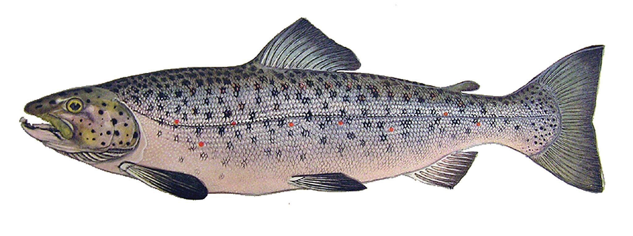 Presumpscot River Fish
