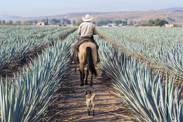 Jalisco-Agave-Field.jpeg