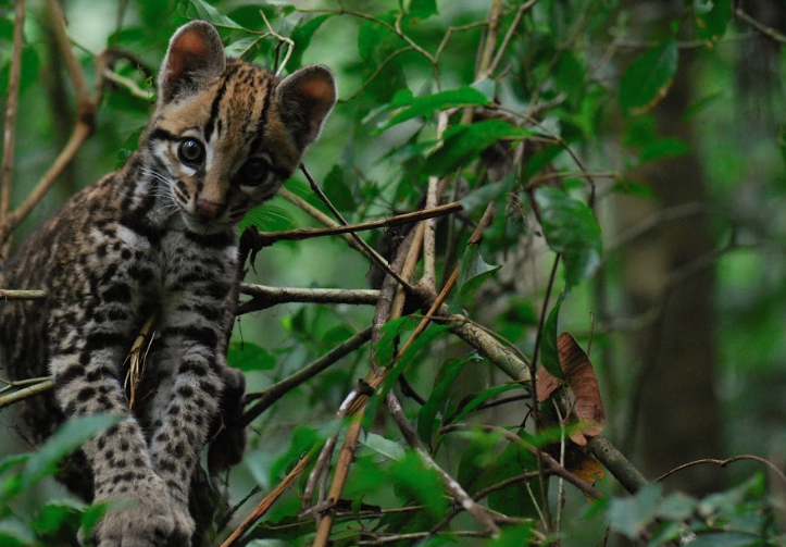 Orphaned Baby Ocelot, Khan as photographed by Harry Turner