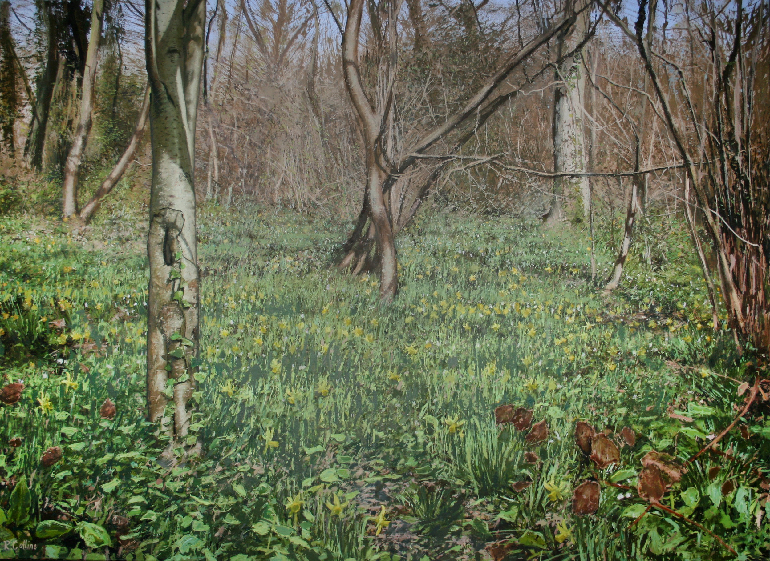 Wild Daffodils at Betty Dawes Wood