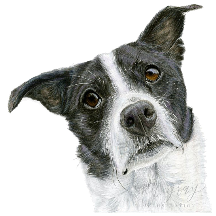"Beau - Rat Terrier in Colored Pencil, 8""x8"""