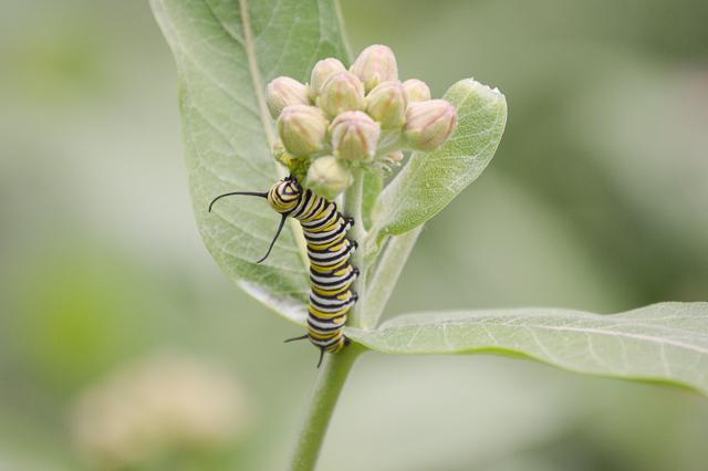 Monarch caterpillar on milkweed plant, J. Gray, Ecology Margin Notes