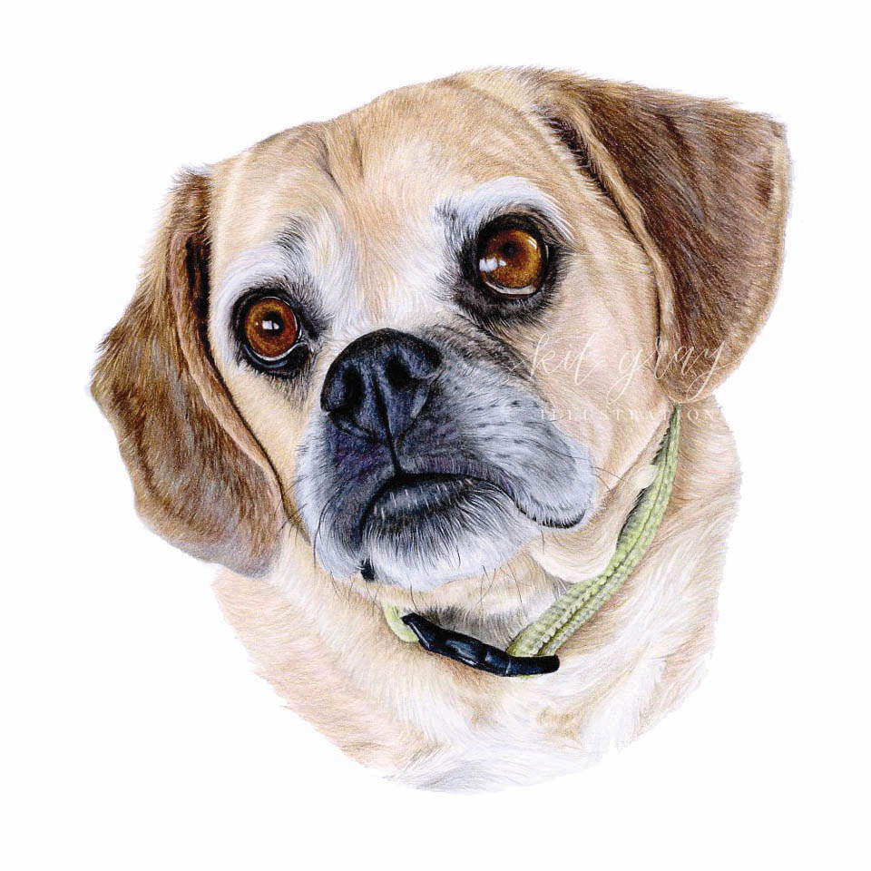 "Bentley - Puggle in Colored Pencil, 10"" x 10"""