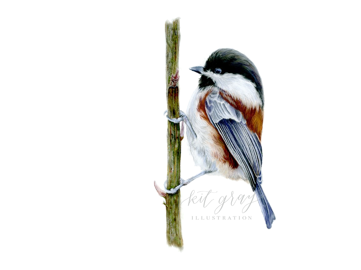 "Chestnut-backed Chickadee - Pastel, 9"" x 12"""