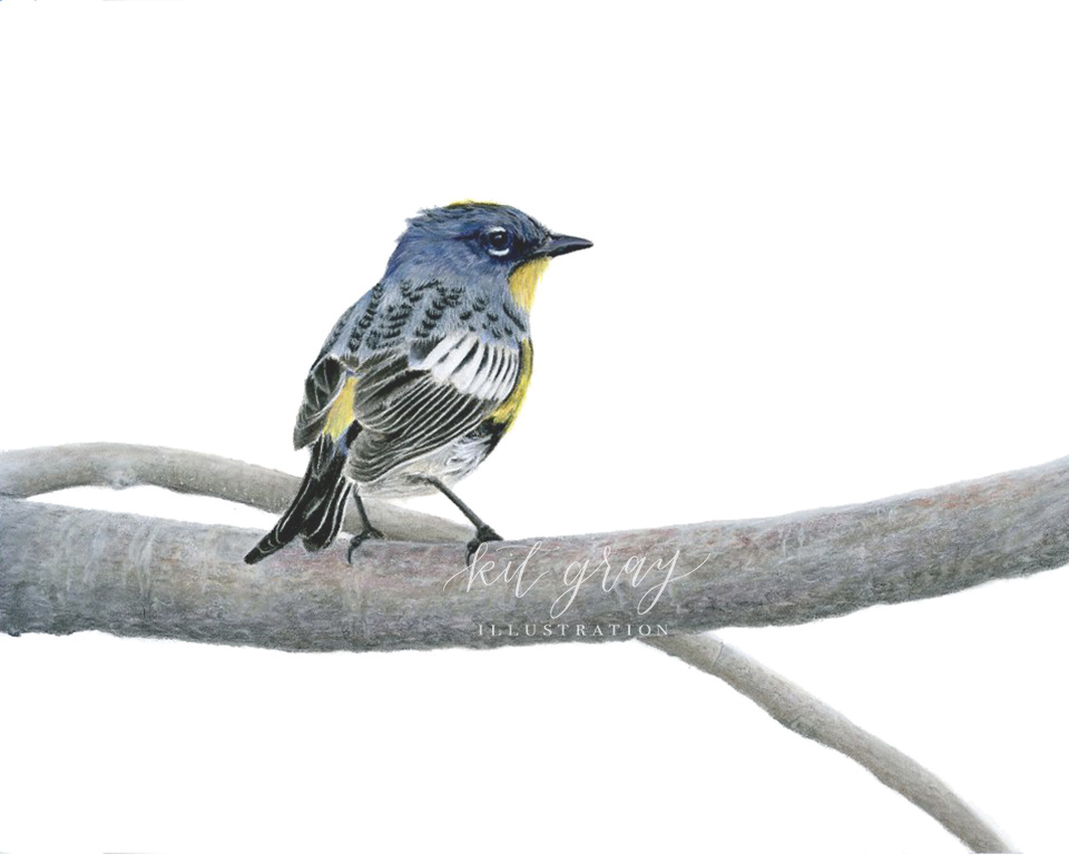 "His Finest Attire - Yellow-rumped Warbler in Pastel, 8"" x 10"" [SOLD]"