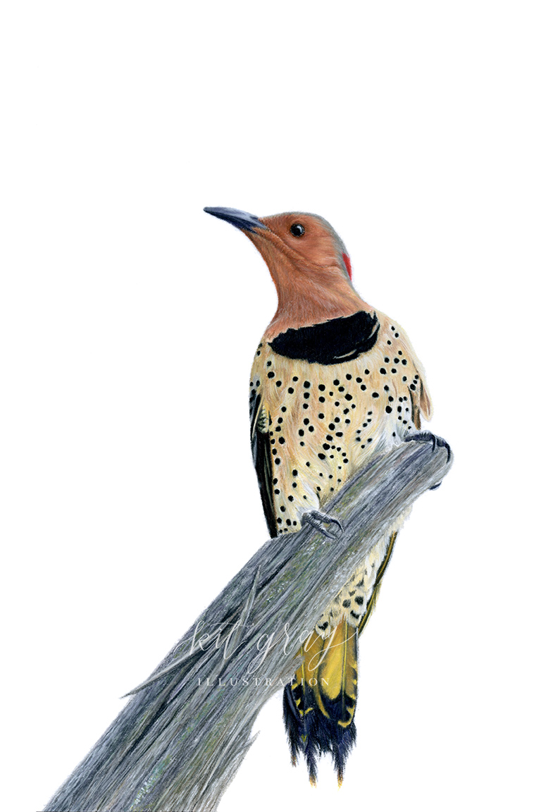 "Neighborhood Watch - Northern Flicker in Pastel, 8"" x 12"" [FOR SALE]"