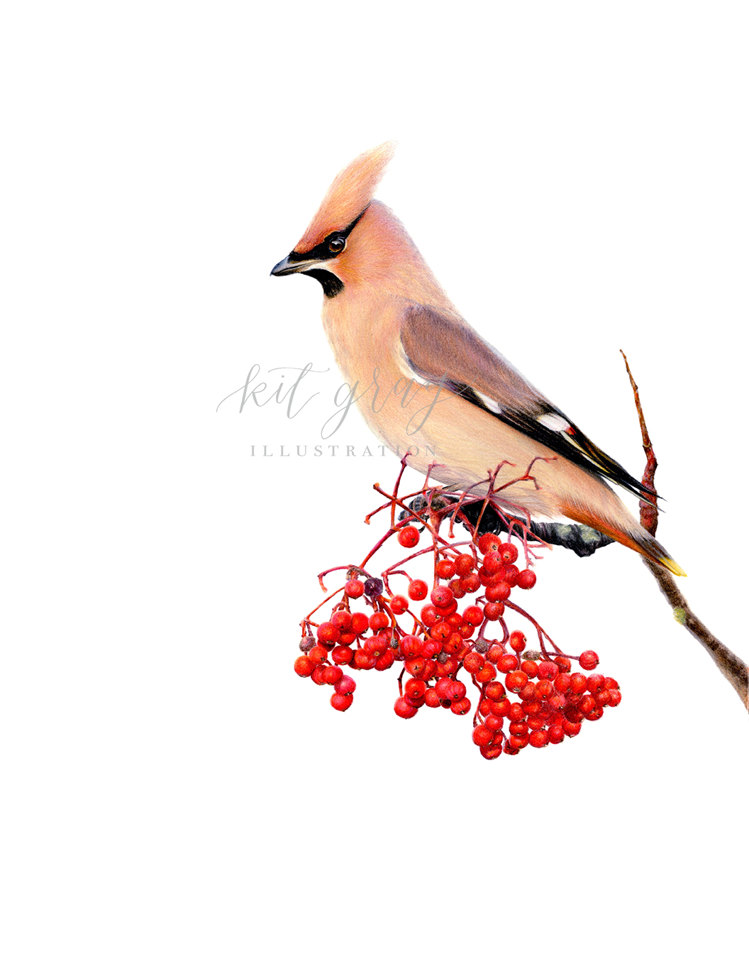 "Plenty to Share - Bohemian Waxwing in Colored Pencil, 11"" x 14"" [SOLD]"
