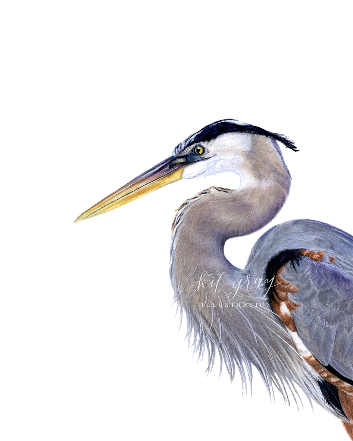 "Forager - Great Blue Heron in Pastel, 11"" x 14"" [SOLD]"