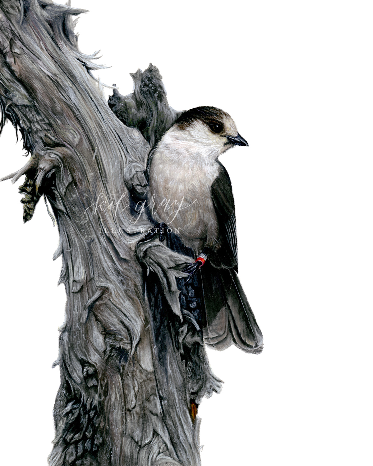 "Curiosity - Gray Jay in Pastel, 8"" x 10"" [FOR SALE]"