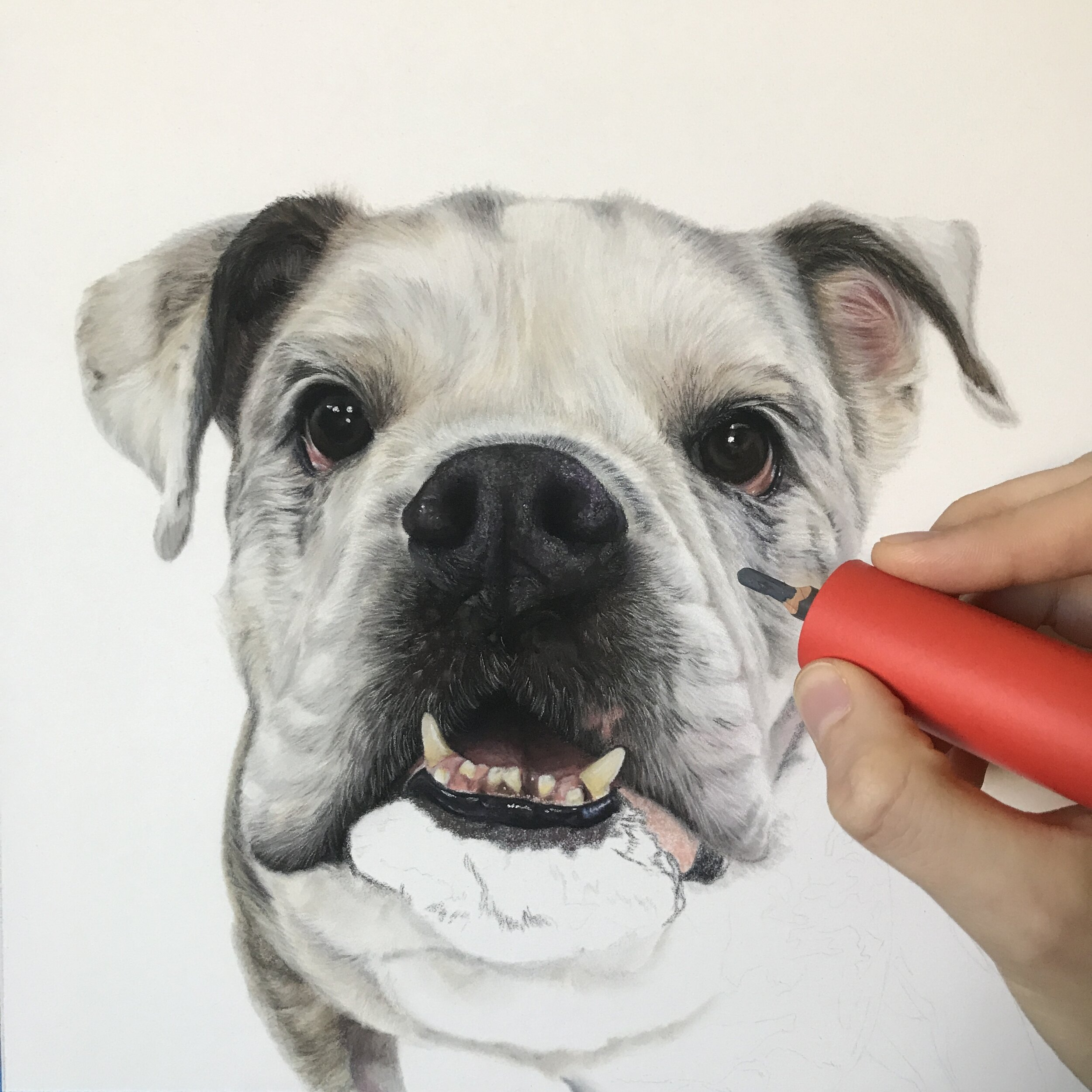 "A progress photo of ""Ruby"" - a 10""x10"" English bulldog pastel portrait from this year"