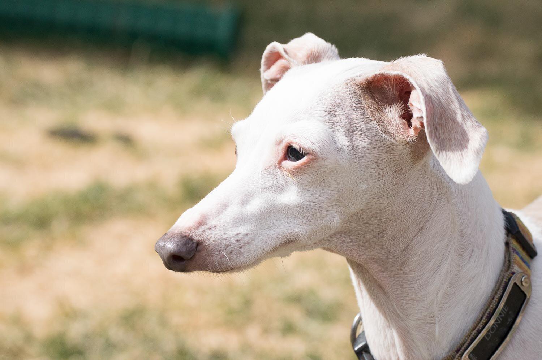 Donnie Italian greyhound sighthound Kit Gray Illustration