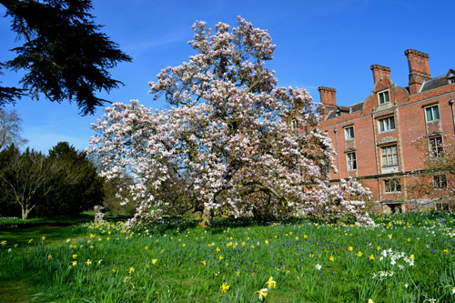 magnolia-blickling-hall-nor.jpg
