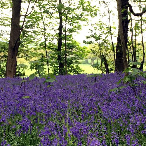 Blickling-woods-bluebells-Norfolk.jpg