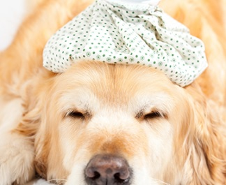 Dog with icepack on head.jpg