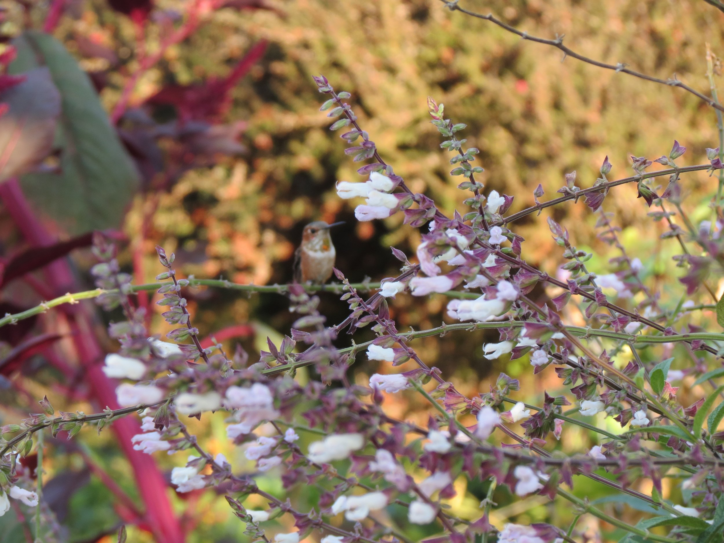 Stephanie Luke - Allen's Hummingbird