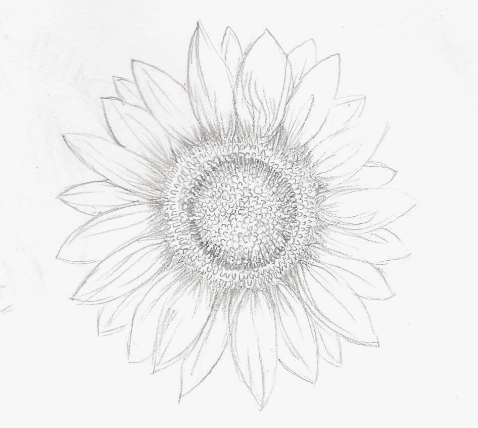 Sunflower-sketch.jpg
