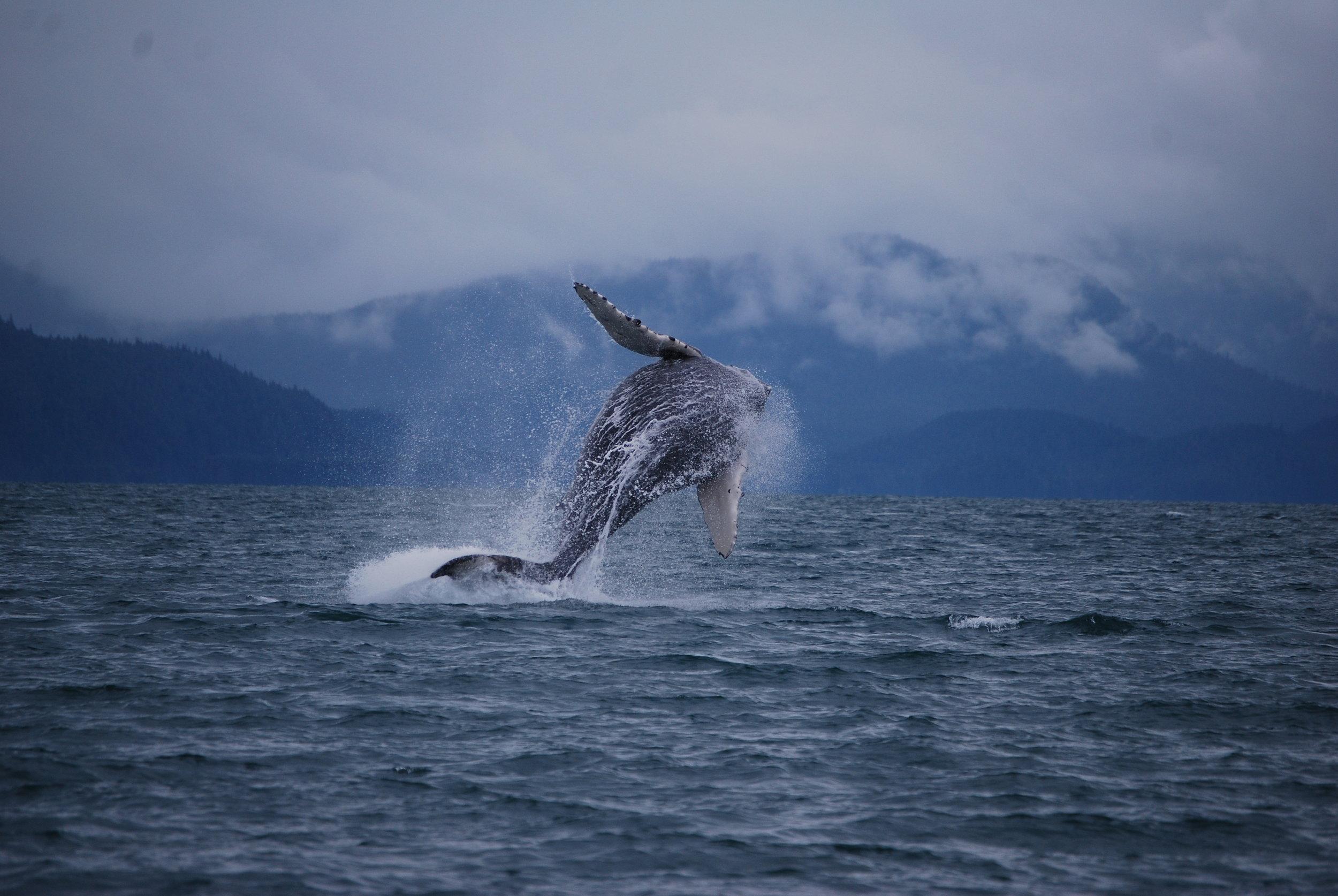 Giant breaching Humpback Whale in Juneau, Alaska- Forty Ninth Fathom Charters