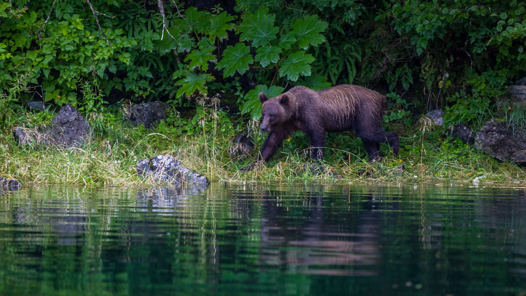Brown Bear viewing in Juneau, Alaska with 49th Fathom Charters