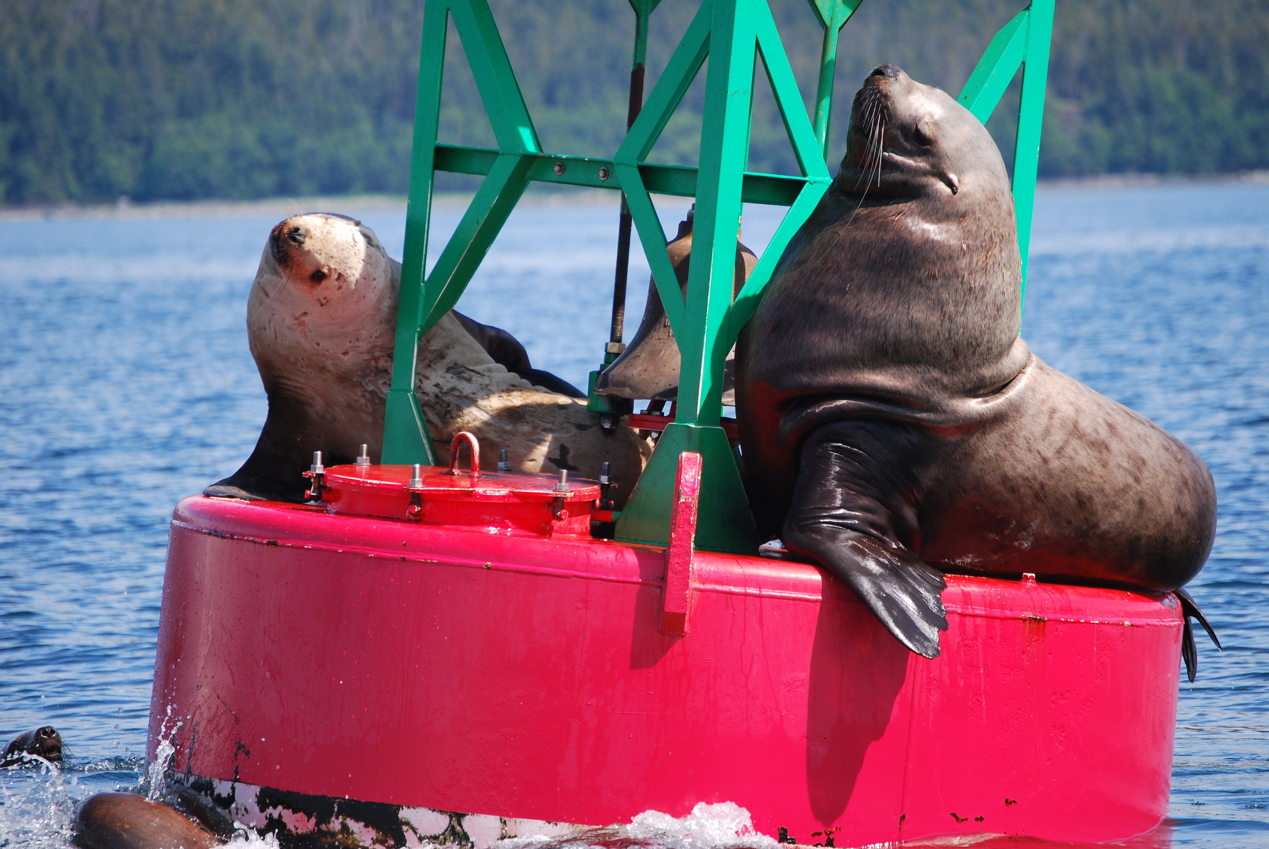 Big sea lions hanging out on sunny day in Juneau, Alaska- Forty Ninth Fathom Charters