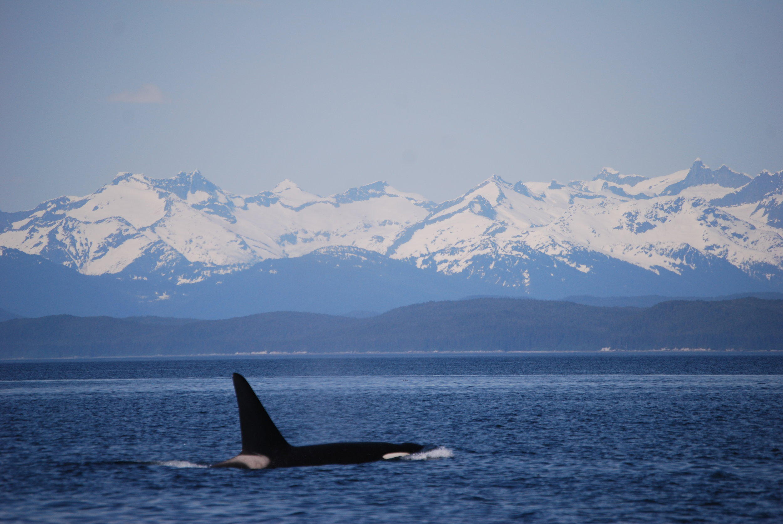 Killer Whale among beautiful white capped mountains in Juneau, AK Forty Ninth Fathom Charters