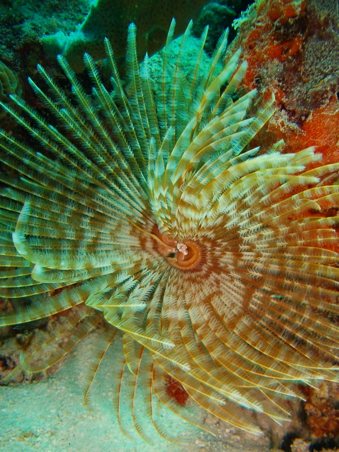 Feather_duster_worm.jpg