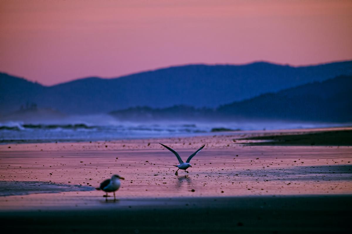 EOT_COAST_Seagull-sunrise-Neskowin-beach.jpg